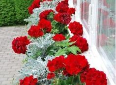 a European look of Red Geraniums and Artemisia ludoviciana Silver Queen (Dusty Miller).such a European look of Red Geraniums and Artemisia ludoviciana Silver Queen (Dusty Miller). Container Flowers, Flower Planters, Container Plants, Container Gardening, Geranium Planters, Tall Planters, Succulent Containers, Vegetable Gardening, Geranium Flower