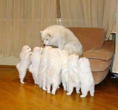 Momma Samoyed & her 7 puppies. All Right, All Right.....One at a time please...lol