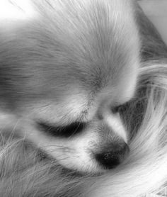 Abigail - Long Coat Chihuahua