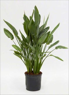 Plant info Spear Leaf Philodendron, clumping with multiple leaves rising from usually short stems. Leaves lanceolate to Tall Indoor Plants, Outdoor Plants, Green Plants, Cactus Plants, Strelitzia Plant, Birds Of Paradise Flower, Flora, Office Plants, Interior Plants