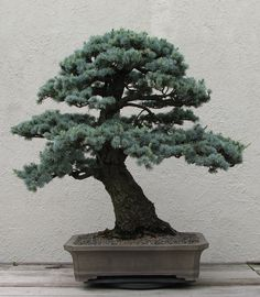 bonsai - Google 検索
