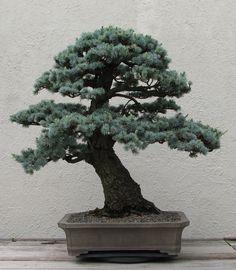 bonsai - Google 検索
