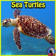 Sea Turtles aka Marine Turtles PowerPoint and Activities: Learn all about sea turtles in this intera Tortoise Cage, Baby Tortoise, Primary Science, Science Activities, Elementary Science, Science Lessons, Upper Elementary, Classroom Activities, Reptiles