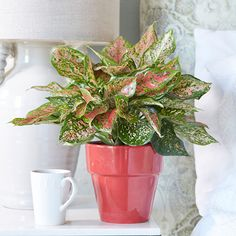 5 Indoor Houseplant Trends for 2020 | Hadley Court - Interior Design Blog Planting Succulents, Planting Flowers, Indoor Plants Names, Easy To Grow Houseplants, Colorful Succulents, Tropical Flowers, Fiddle Leaf Fig, Spider Plants, Color Of The Year