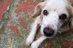 Conoce la nueva medicina que podrá alargar la vida de tu perro.