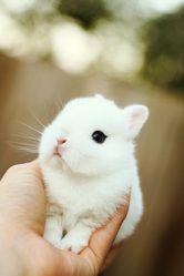 Dwarf Hotot bunny!!! So unique and tiny!!!