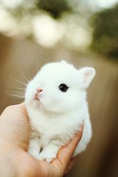 Dwarf Hotot bunny!!! So unique and tiny!!!