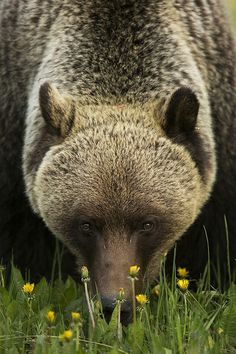 harvestheart:  Grizzly in the candy store - Photo and Comment by Robert McRae:  Inland Grizzly Bears wake from hibernation very hungry and immediately begin to eat large quantities of grasses and plants, which make up the majority of their diet. One of their favorite treats is the Dandelion plant. I captured this image as this Bear worked his way through a large patch of Dandelions. Alberta, Canada.  Equipment: Canon EOS 5D III and Canon EF 500