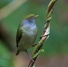 Ilicura militaris-female.jpg   El saltarín militar4 (Ilicura militaris), también denominado tangarazinho (en Brasil)3 es una especie de ave paseriforme perteneciente a la familia Pipridae. Es la única especie del género Ilicura. Es endémica de Brasil.