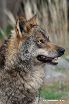 Picture by Fernando Domínguez Magarín Iberian wolf (Canis lupus signatus).
