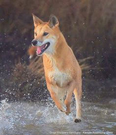 Dingo Sanctuary Open Days 2018 - July to September Wolf Images, Wolf Pictures, Beautiful Dogs, Animals Beautiful, Dogs Day Out, Dingo Dog, Baby Animals, Cute Animals, African Wild Dog