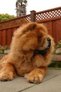 Red Chow Chow -- Look at the size of those paws! Why did we name him Big Foot?