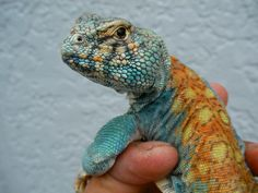 That uromastyx face!
