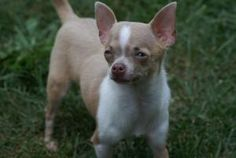 Abby is an adoptable Chihuahua Dog in Norristown, PA. Abby is a sweet and special needs dog. She has hydrocephalus ('water on the brain'), is slightly visually impaired and has bilateral luxating pate...