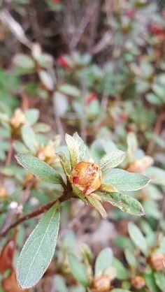 how azalea blossoms 1