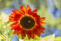 Sunflower 3 by John Velocci, via 500px