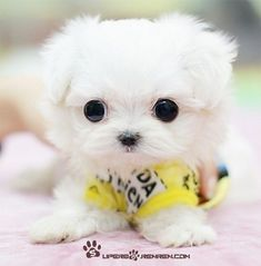 Adorable new born white Maltese puppy . Click on the pic for more #aww