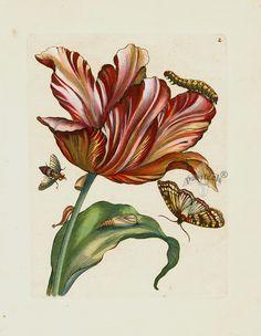 Tulipa purpurea MER2