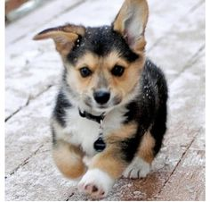 Corgi, i want One!