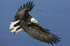bald eagle picture of year 2012 | Bald Eagles Return To Harrison; Annual Eagle Festival on Now ...