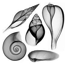 Sealife shells, black & white x-ray photography [Bert Myers] Desenio Posters, Aquarell Tattoo, Patterns In Nature, Natural Forms, Art Plastique, Art Photography, Iphone Photography, Underwater Photography, Street Photography