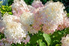 Hydrangea Quercifolia, Hydrangea Arborescens Annabelle, Hydrangea Tree, Hydrangea Garden, Types Of Hydrangeas, Smooth Hydrangea, Garden On A Hill