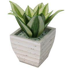 Planta ornamental : Sansevieria