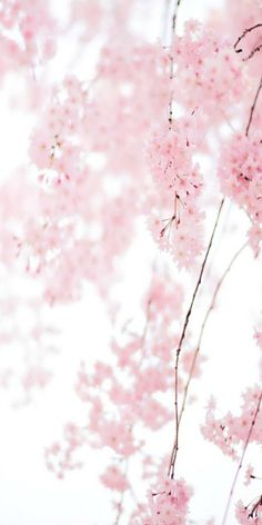 ❢pink cherry blossoms