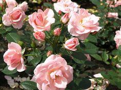 Rose Astrid Lindgren. Blomstrer fra juli til sent efterår (måske jul). Dufter. I krukke op ad facaden - kan så flyttes med solen ved behov