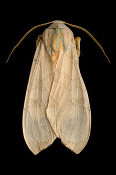 Banded tussock moth http://www.amnh.org/explore/news-blogs/on-exhibit-posts/mysterious-majestic-moths-at-the-museum
