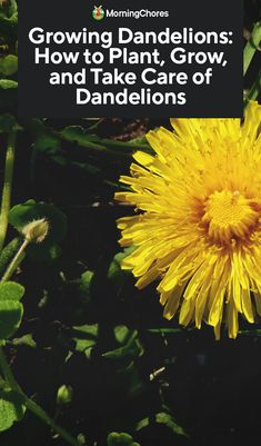 Dandelions: How to Plant, Grow, and Take Care of Dandelions Growing dandelions on purpose? Trust us, you'll be glad you did. Check out our guide to making the most of this nutritious plant. Dandelion Plant, Dandelion Flower, Perennial Vegetables, Planting Vegetables, Veggies, Herb Garden, Garden Plants, Green Garden, House Plants