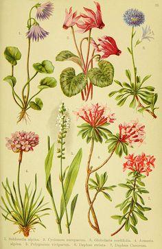 n146_w1150 Alpen-Flora für Touristen und Pflanzenfreunde Stuttgart :Verlag für Naturkunde Sprösser & Nägele,1904. biodiversitylibrary.org
