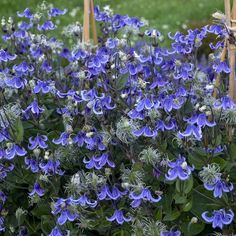 Perennials That Attract Hummingbirds to Your Garden! Stand By Me Perennials That Attract Hummingbirds to Your Garden! Stand By Me Clematis Flower Garden, Flowers Perennials, Plants, Beautiful Flowers Garden, Beautiful Flowers, How To Attract Hummingbirds, Blue Plants, Garden Vines, Clematis