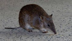 Southern Brown Bandicoot Reptiles, Mammals, All Animals Are Equal, Australia Animals, Hamster, Cute Animals, Wild Animals, Science Nature, Pet Birds