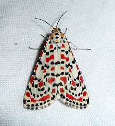 African Crimson Speckled Moth. Utethesia pulchella ~ by gailhampshire, via Flickr