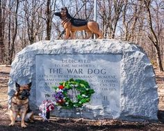 Mina, an American war hero, 8 tours in Afghanistan. Military Working Dogs, Military Dogs, Police Dogs, Military Service, Animal Heros, Brave, War Dogs, German Shepherd Dogs, German Shepherds