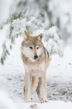 Winter Wolf by Mark Dumont**