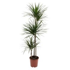 B&Q Dragon Tree In Plant Pot: Image 1