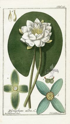 vintage water lily - Google Search