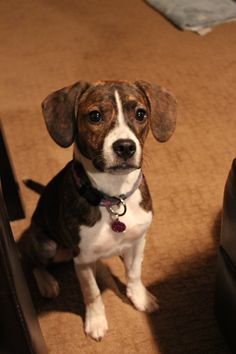Our beagle/boston mix (boglen) Zoey :) Oh my gosh! I have a beagle/boston mix too! His name is Lou, and he looks just like this dog! They even have matching brindle patterns!