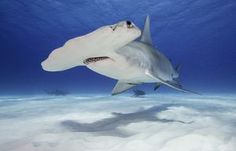 Is swimming with sharks on your bucket list? Here are the best places to get up close and personal with tiger, whale, hammerhead and even great white sharks. Scuba Travel, Hammerhead Shark, Great White Shark, Snorkeling, Under The Sea, Diving, The Good Place, Caribbean, Whale