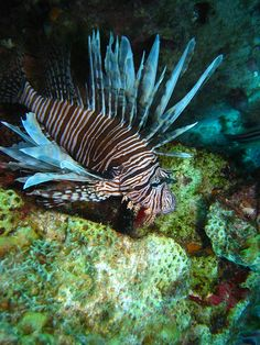 Scuba diving in San Andres Island  Lion Fish