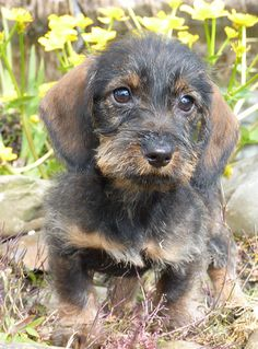 .Love Dachshunds? Then why not join our Dog & Cat Lovers Facebook Page, Just click Below https://www.facebook.com/pages/Dont-Hurt-Me-Im-Your-Best-Friend/636479679717238
