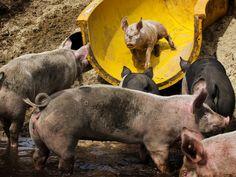 Dinsdag 6 augustus: Varkenshouder Erik Stegink in het Overijsselse Bathmen heeft een glijbaan voor zijn varkens aangelegd.