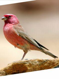 Sinai Rose Finch, Carpodacus synoicus