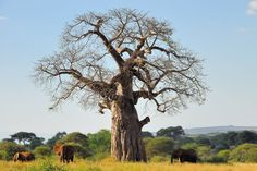 Discover facts and legends about the baobab, an iconic symbol of Southern and East Africa also known as the upside-down tree or the Tree of Life. Africa Outline, Africa Art, East Africa, African Paintings, Tree Paintings, Africa Tattoos, African Tree, Baobab Tree, Woodland Forest