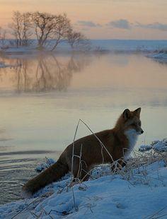 Red Fox by Igor Shpilenok