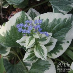 Brunnera macrophylla 'Dawson's White' is one of my favorite perennials that  is a great deer-resistant alternative to Hosta.  The Large heart-shaped leaves have bold white margins. Bright blue, forget-me-not flowers appear in early spring.