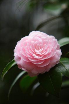 Unusual Flowers, Amazing Flowers, Beautiful Roses, Beautiful Flowers, Pink Roses, Pink Flowers, Birthday Wishes Flowers, Garden Oasis, Japanese Flowers