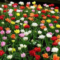 Sample the wide range of colors in this mix of early-blooming, double-flowered Tulips.